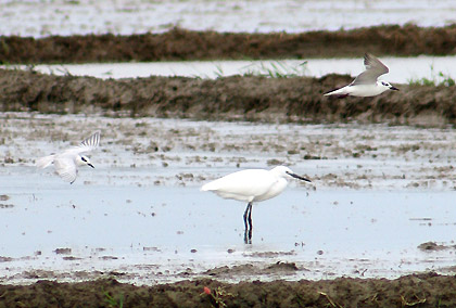 whiskered terns and a little egret, Candaba, Pampanga