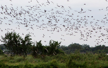 a flock of ducks flying over the Candaba wetlands