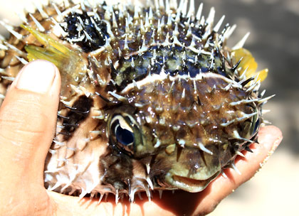 a puffer fish caught by fishermen off Patar Beach, Bolinao