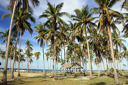 coconut trees on field overlooking a cove in Tambobong, Dasol
